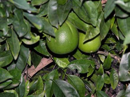 پرتقالهاي کال روي درخت