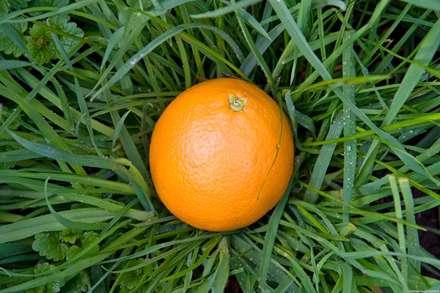 پرتقالي روي سبزه ها