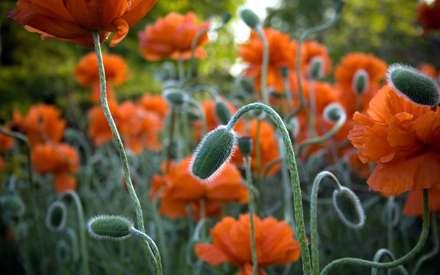 گلهاي شقايق همراه با غنچه ها