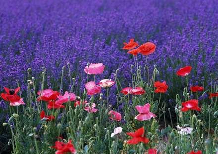 گلهاي شقايق با رنگهاي صورتي و قرمز و سفيد همراه با غنچه ها کنار دشت گلهاي آبي
