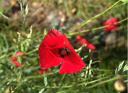 گل شقايق