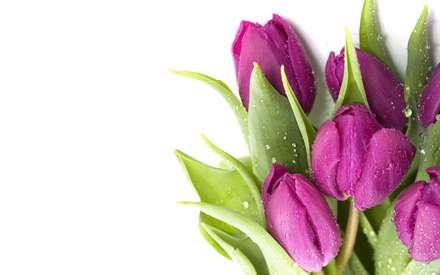 گلهاي لاله صورتي همراه با برگ با قطرات ريز آب
