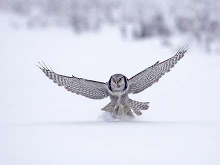 جغد برفي در حال پرواز روي برف