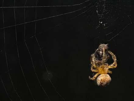عنکبوتي روي تار خويش در حال شکار