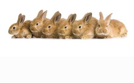 خرگوش های قهوه ای