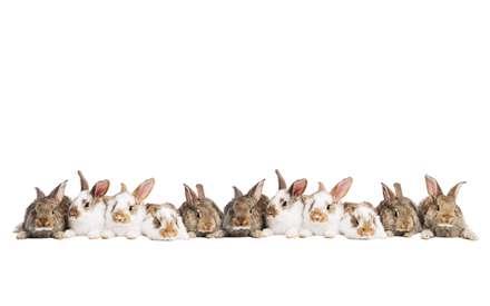 خرگوش های منظم