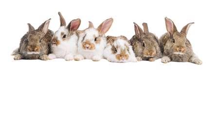دسته ی خرگوش ها