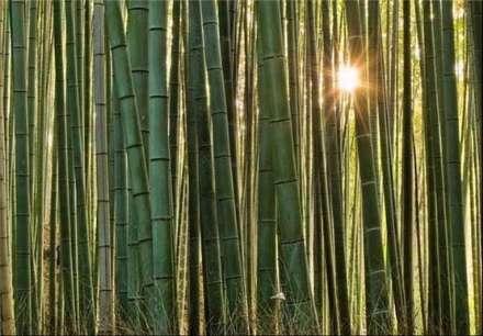 تصاویری بسیار زیبا از جنگل بامبو در ژاپن