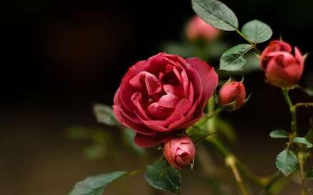 گل نسترن قرمز