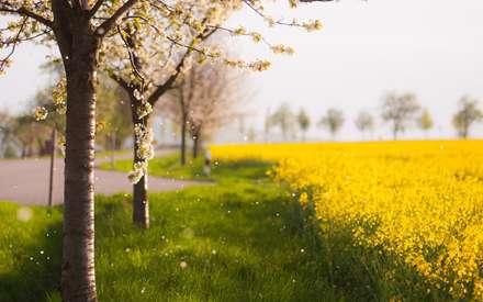 تصویر زمینه مزرعه زرد