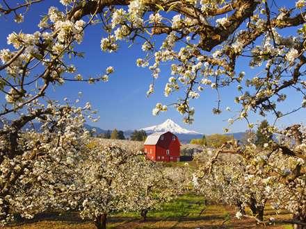 درخت های شکوفه کرده سیب
