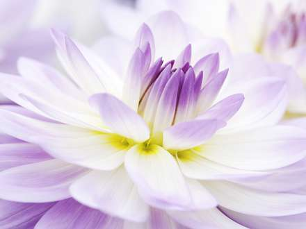 تصویر زمینه گل کوکب