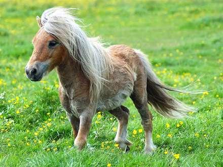 اسب پونی