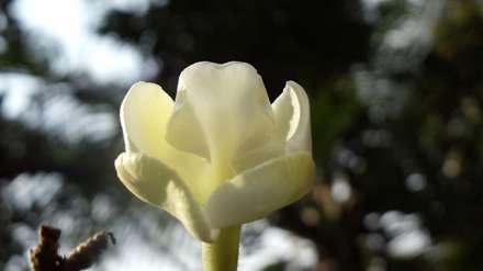 گل کاسه ای مایل به زرد