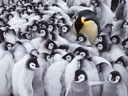 تصویر زمینه جوجه پنگوئن ها