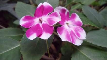 گل پنج پر ابلق