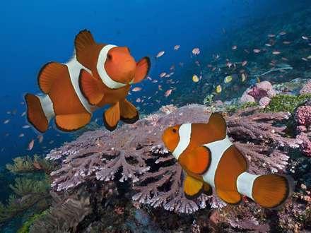 دلقک ماهی ها