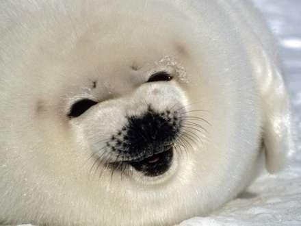 سگ قطبی کوچک