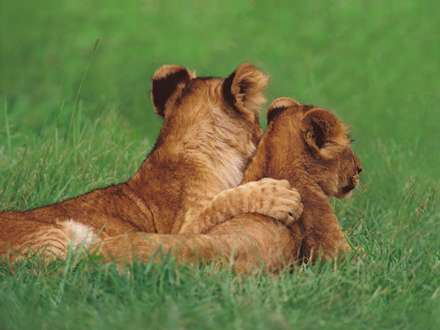 بچه شیرهای مهربان