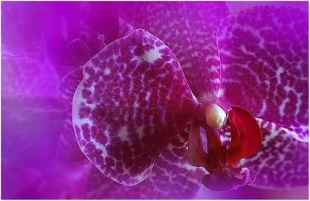 تصویر زمینه گل مخملی زیبا
