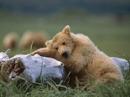 خرس خسته