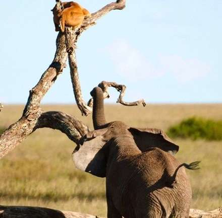 فرار سلطان از دست فیل عصبانی