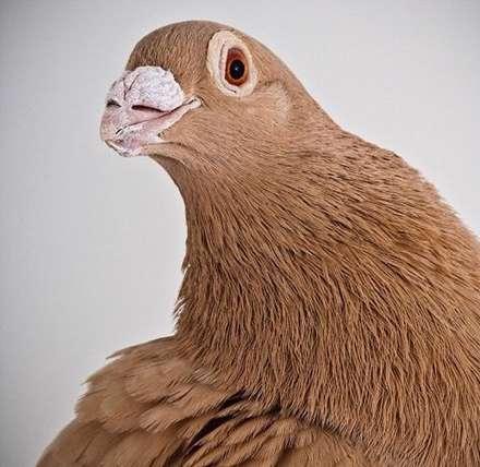 تصاویری از کبوترانی زیبا اما بسیار متفاوت