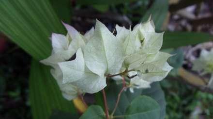برگ های سفید با رگه های سبز