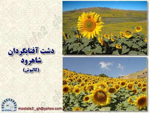 دشت آفتابگردان  mostafa2_gh