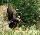 پوفين شاخدار (Tufted Puffin )
