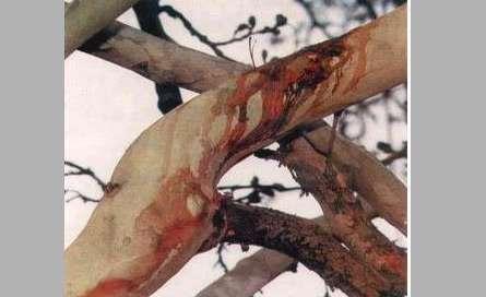 درخت گریان در روز عاشورا, عکس درختی که خون میگرید,درخت خونبار