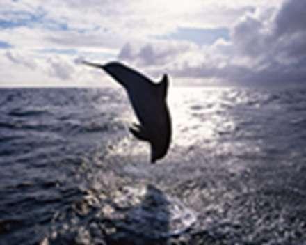 دلفین شیطون