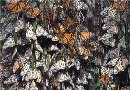 تصاویری از مهاجرت پروانههای پادشاه