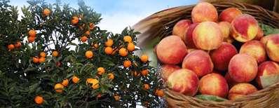 تولید هلو از درخت پرتقال!؟