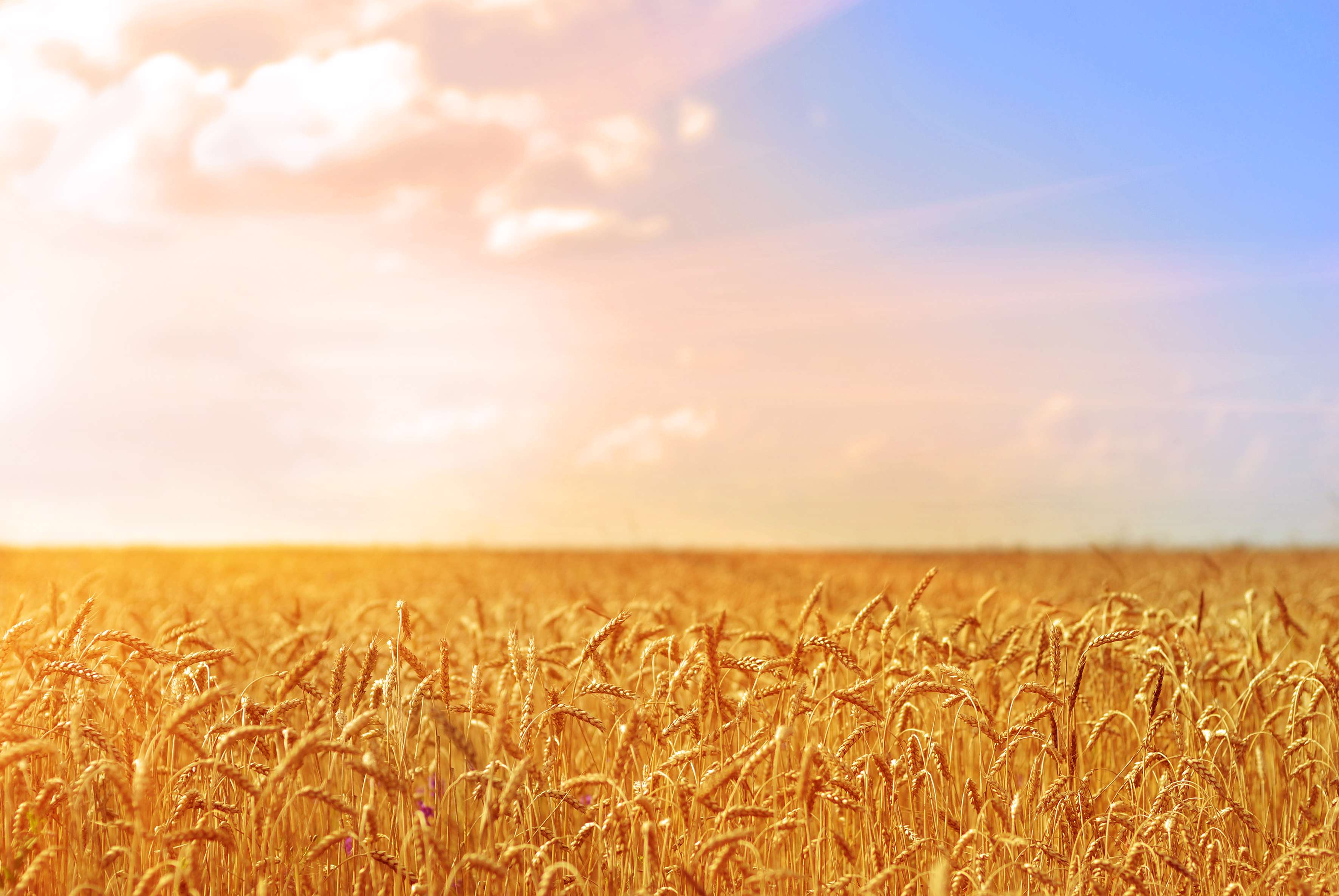 جهش تولید همراه با تلاش در گندمزارها