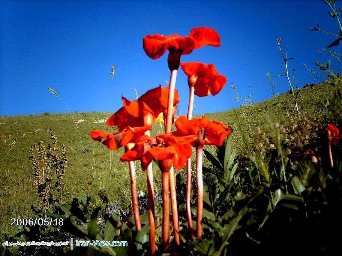 گل های زیبا در کوهستان ویراش، پاوه–Beautiful Tulips of Virash Mount in Paveh