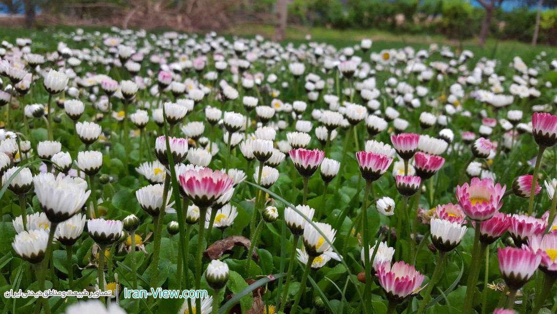 گل های بهاری، مشهد–Beautiful Spring Flowers in Mashhad