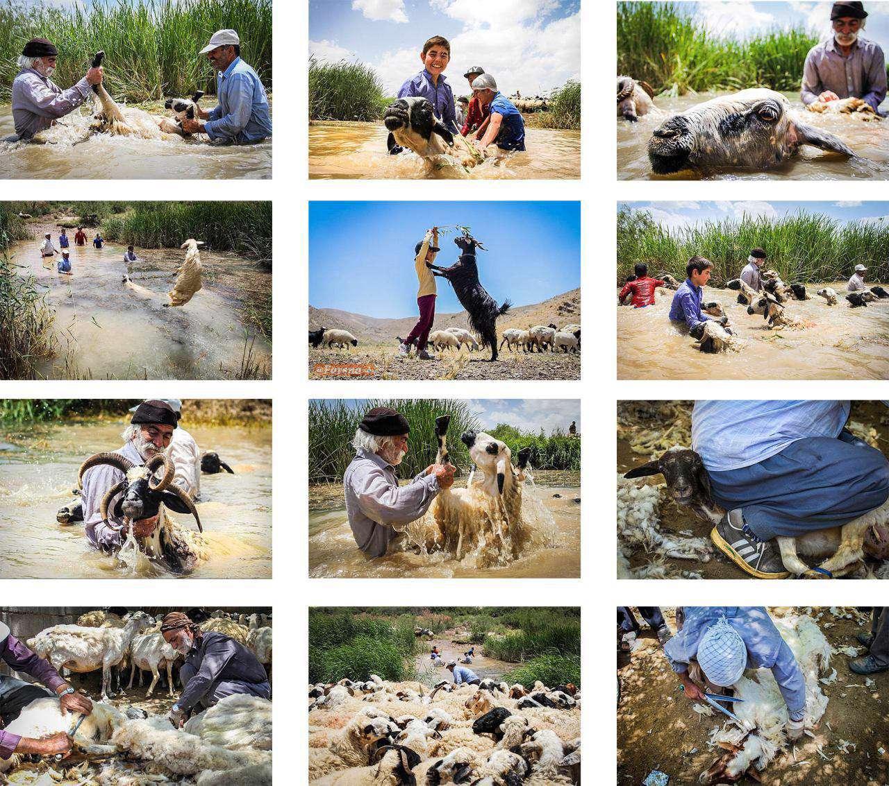 پشم چینی گوسفندان در نیم ور اراک