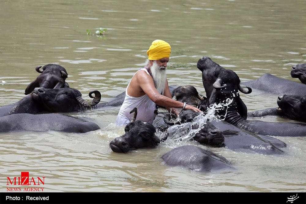 شستشوی بوفالوها در دریاچه ای در هند