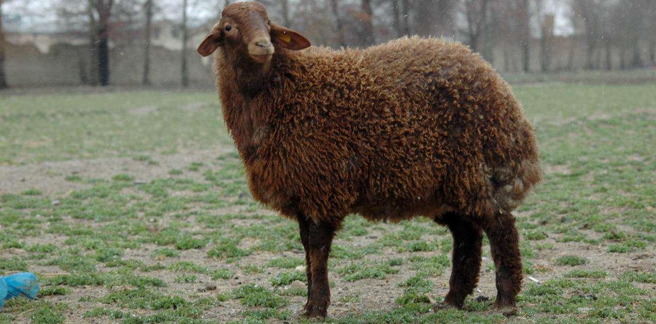 خدمات نظام اسلامی / اولین گوسفند شبیه سازی شده ایران (رویانا)