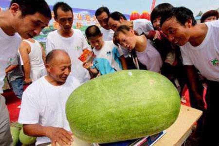 یک کشاورز چینی پس از سالها تلاش و در اقدامی بی سابقه موفق به پرورش هندوانهای در مزرعه خود شده که ۸۰ کیلوگرم وزن دارد.