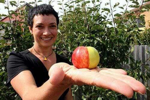 این سیب که در تاسمانیا پرورش یافته است دارای پوستی ترکیبی از دو نوع سیب زرد و قرمز میباشد..