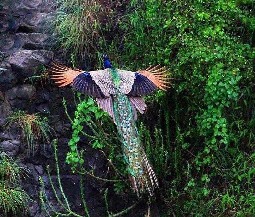 اغلب مردم طاووس را در باغ وحش دیدهاند، اما کمتر کسی منظره زیبای پرواز این پرنده را مشاهده کرده است