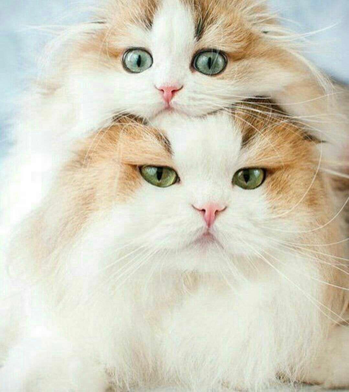 شباهت بچه گربه به مادرش