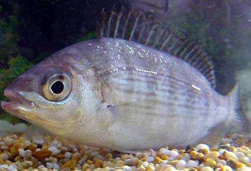 تغییر جنسیت ماهی صبیتی