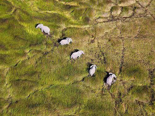 حرکت فیل ها در دلتای اوکاوانگو