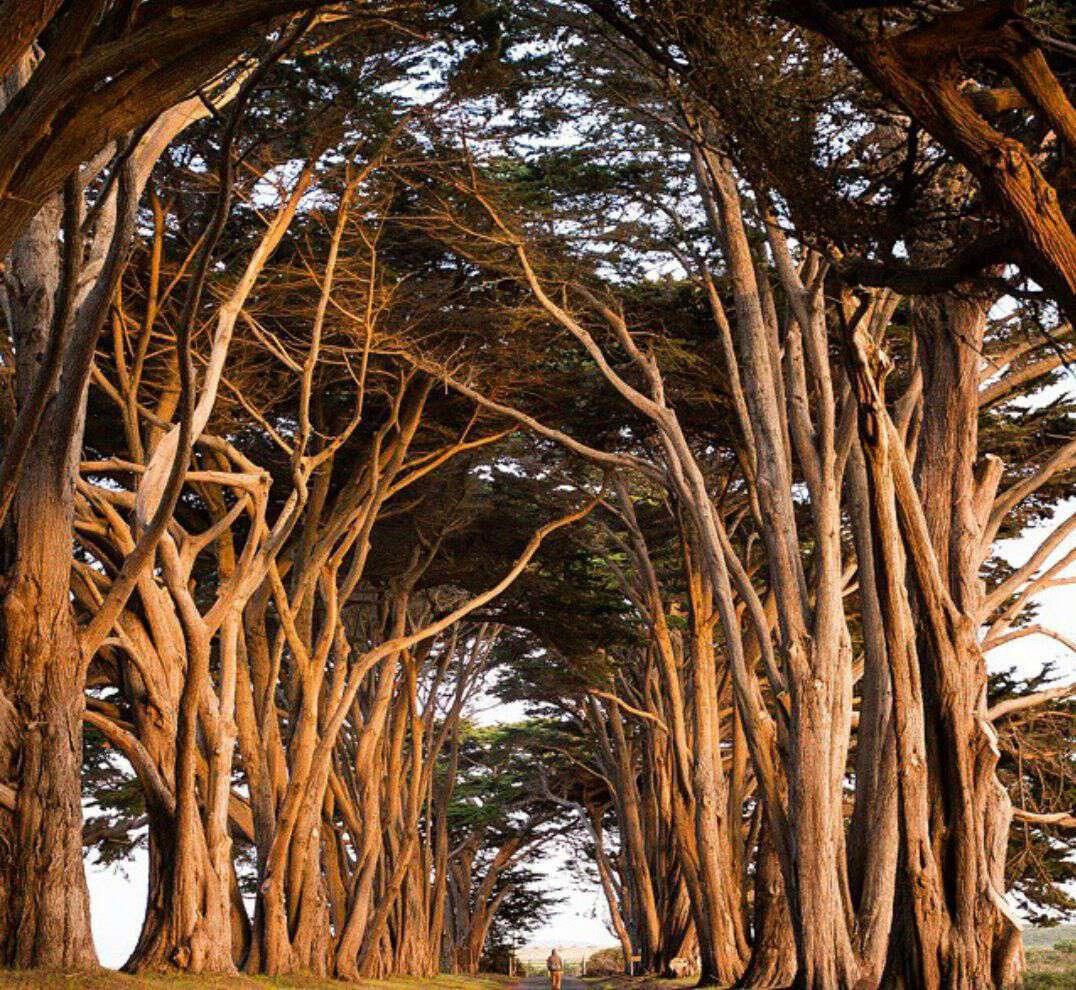 تونل درخت سرو