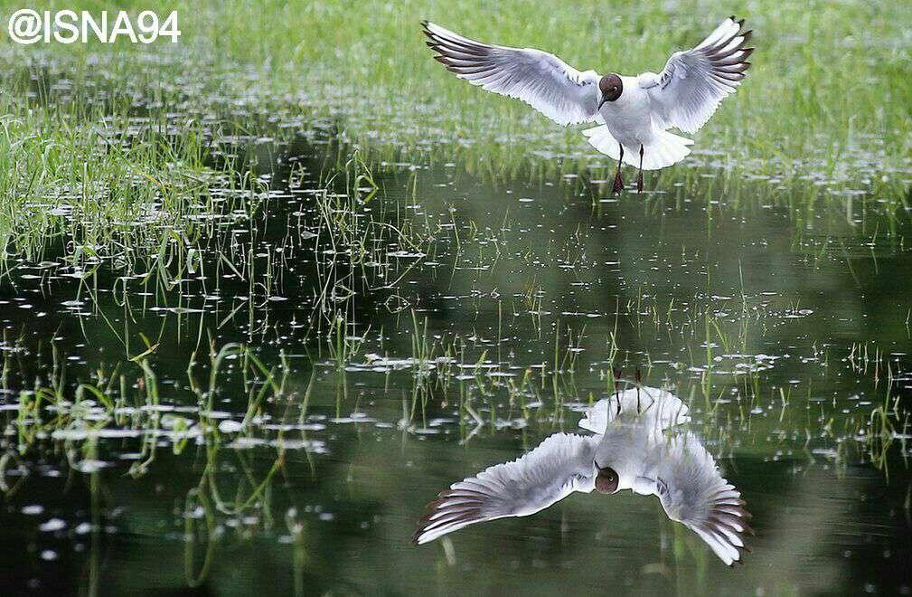 انعکاس تصویر مرغ دریایی در آب بعد از باران شدید در علفزاری که زیر آب رفته، آلمان