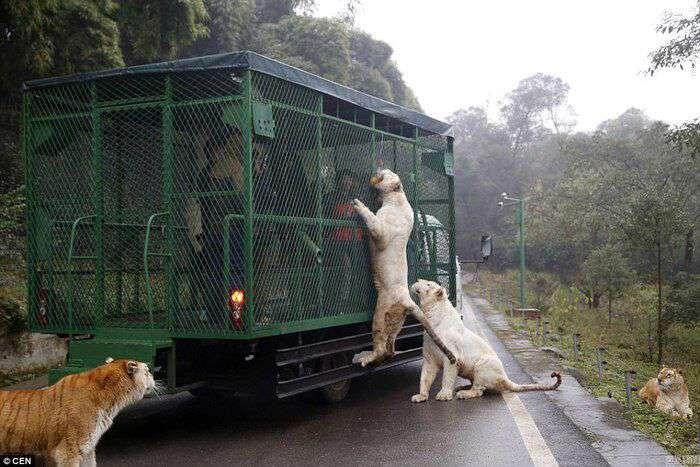 در باغ وحش طبیعی Lehe Ledu چین، گردشگران با ماشین وارد محوطه میشوند و حیوانات آزاد را بازدید میکنند!