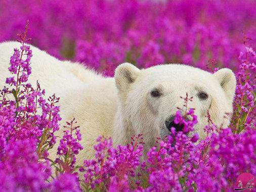 خرس سفید در میان گلهای بنفش خلیج هادسون